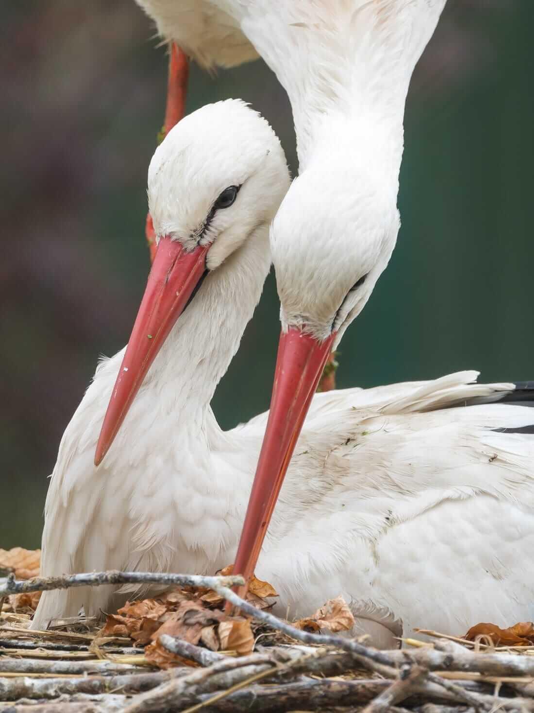 Zwei Störche in einem Nest
